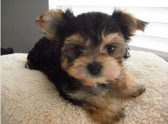 Adorable black and tan Morkie puppy dog