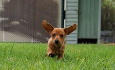 Dachshunds are life ❤️