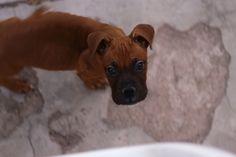 Boris #doggy #babyboxer #boxer #dog #prettydog #handsomedog #makesmehappy