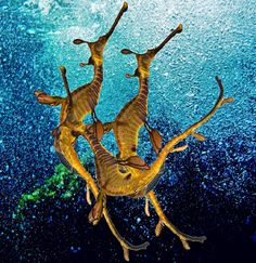 seadragon dance...I find this a particularly beautiful image.