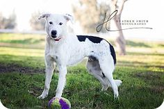 Granite Bay in Placer County, CA - Border Collie Mix. Meet JUNO, a dog for adoption. http://www.adoptapet.com/pet/12240073-corning-california-border-collie-mix