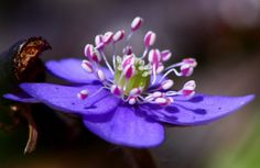 Common hepatica ... nothing 'common' about this!