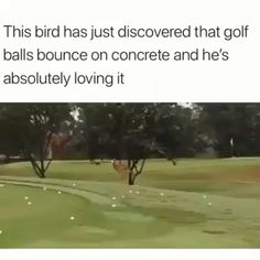 Bird Plays with Golf Ball - Tier - Humor Funny Funny Animal Memes, Funny Animal Videos, Cute Funny Animals, Funny Animal Pictures, Cute Baby Animals, Funny Cute, Animals And Pets, Funny Memes, Funny Chicken Memes