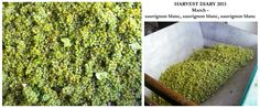 Harvest diary march #sauvblanc  from Klein Constantia in South Africa