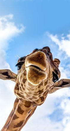 Wallpaper jirafas The Effective Pictures We Offer You About animal wallpaper interior A quality pict Tier Wallpaper, Iphone Background Wallpaper, Animal Wallpaper, Disney Wallpaper, Cute Funny Animals, Cute Baby Animals, Animals And Pets, Cute Dogs, Giraffe Pictures