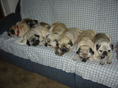 Couch pugtatoes #pugs. Everywhere a pug. Where am I supposed to sit?
