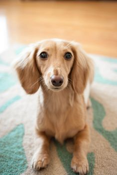 I am looking great. doxie