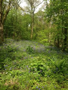 Bluebells in Rounall Woods in Dalbeattie, Dumfries and Galloway. May 2015. B