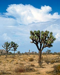 Victorville... my home town.  There is something majestic about Joshua trees that take forever to grow, standing against a brilliant blue sky with white clouds... it makes me miss living in the high desert.
