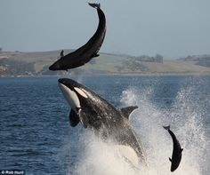 Killer Whale chasing Dolphins
