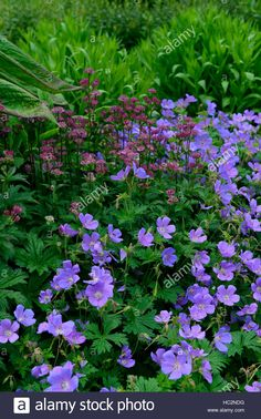 Stock Photo - astrantia star of beauty geranium johnson's blue red flowers flower flowering mixed mix planting scheme border RM Floral