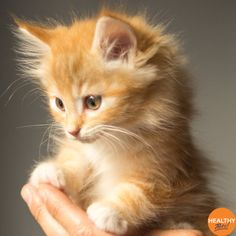 Has 2020 seen you become a new cat owner or you're considering a new addition? We've got some more tips for introducing a kitten to your home 🐱Gradually start to introduce them to the cat carrier so that it becomes easier when you need to take them to the vets ❤️Get them used to being picked up, having their ears looked at and grooming 🐈 Socialise slowly, get them used to other pets and children 🐾 Reward good behaviour and ignore bad behaviour #pets #kittens #cats… Cute Kittens, Baby Kittens, Newborn Kittens, Cats And Kittens, Kitten Cat, Siamese Cats, Introducing A New Cat, Orange Kittens, Kitty Images