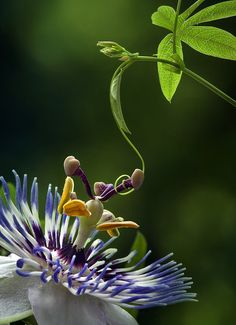 PASSIONFLOWER (leaf/flower/vine) Water/Neptune/Venus - Peace & tranquility. Friendship & family. Blesses the home