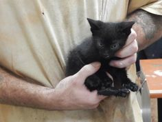 Tootsie - URGENT - PIKE COUNTY ANIMAL SHELTER in Pikeville, Kentucky - ADOPT OR FOSTER - Female KITTEN Domestic SH Mix