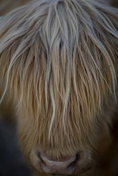 Daxter the Scottish Highland Cow by jch10029, via Flickr