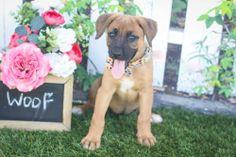 Vikki is an adoptable German Shepherd Dog, Boxer Dog in Elk Grove, CA Meet Vikki, she is 8 weeks old German Shepherd / boxer mix. She is so very adorable, playful, f ... ...Read more about me on @Petfinder.com.com