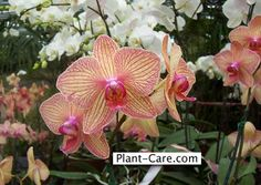 This is Becca's theme flower and colors for the wedding.kind of purply fushia/salmon pink/yellow.sort of sunset colors. This is called a Moth Orchid in Candy/Salmon Phalaenopsis Orchid Care, Moth Orchid, Orchids, Canyon Lake, Sunset Colors, Handfasting, He's Beautiful, Plant Care, Becca