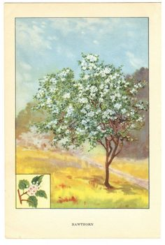 Vintage Bookplate of Trees, Wild Black Cherry and Hawthorn Tree Nature Print from 1926