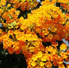 Perennials Zone 7 | Zone 7 Perennials