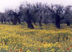 Olivenbäume Italien, Foto. S. Hopp