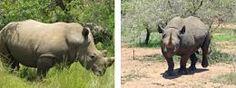 El Rinoceronte Caracteristicas Especies Habitat Reproduccion Alimentacion