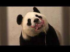 La femelle panda Hao Hao a un bébé - YouTube