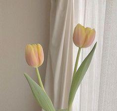 Cream Aesthetic, Flower Aesthetic, Aesthetic Images, Aesthetic Wallpapers, Yellow Tulips, Tulips Flowers, Beautiful Flowers, Cactus Flower, Flowers Garden