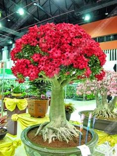 "Awesome Adenium bonsai tree. Adenium are actually fast growing and easy to grow when given the right conditions and the proper care. Native to East Africa and relative of the Plumeria, the Desert Rose is a small succulent tree that grows only about 8 inches tall in the wild, has fleshy leaves and forms a very bulbous base. It produces exotic 2"" pink and white, open-trumpet shaped flowers throughout the year in full sun. Desert Roses readily adapt to container culture, making them well…"