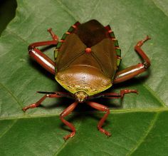 Tessaratomid Giant Shield Bug