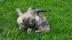 Puppies by Tinka & Ardal
