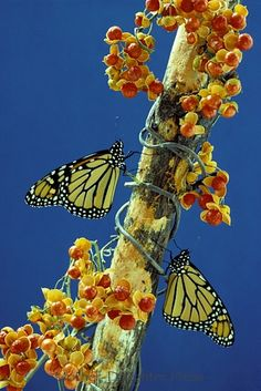 Monarch butterflies on bittersweet branch.