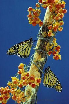 Monarch butterflies on bittersweet branch.