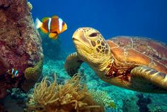 This video of the Great Barrier Reef offers an amazing perspective of the spectacular underwater world from a turtle's eye view. Beautiful Creatures, Animals Beautiful, Cute Animals, Animals Sea, Nature Film, Turtle Love, Green Turtle, Wale, Deep Blue Sea