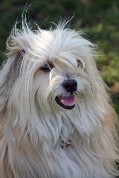 Cody the Havanese Havanese Grooming, Havanese Puppies, Dogs And Puppies, Doggies, Best Dog Breeds, Best Dogs, I Love Dogs, Cute Dogs, Puppy Eyes