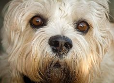 Piper, Dandie Dinmont Terrier, 4 Nice one! Dandie Dinmont Terrier, Jenga, Doge, Olives, Fun, Pictures, Photography, Animals, Photos