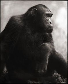 Chimpanzee Posing - by Nick Brandt