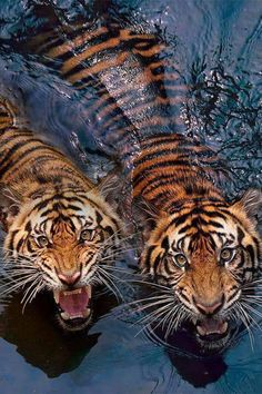 Tigres uploaded by María José on We Heart It Wild Life, Nature Animals, Animals And Pets, Cute Animals, Wildlife Nature, Wild Animals, Exotic Animals, Anime Animals, Animals Images