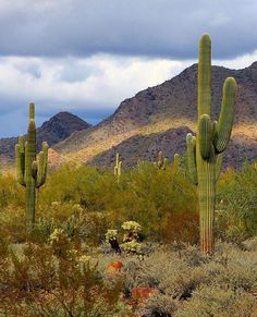 Happy Saturday! The Valley will reach the mid to upper 90s today and tomorrow under mostly sunny skies.  Share your best #Arizona photos using #abc15 or email at share@abc15.com  #saguaro #arizona #desert #nature #desertlove #arizonacollective #igersaz #awesome #instagood #cactus #hiking #trails by abc15arizona