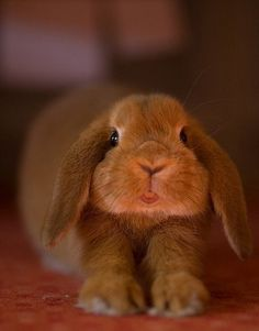 Adorable Lop-Eared Bunny  |  Pinned from where is my mind?