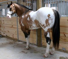 Appaloosa with Splashed White Pattern as well. Most likely related to Bright Eyes line.