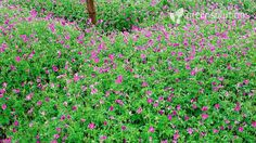 Image result for geranium endressii