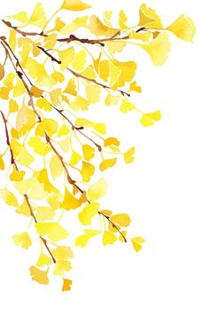 Beautiful ginko leaves.