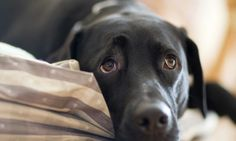 Man's best friend: Dogs can read human emotions – even if they have never met them before