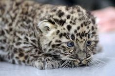 This is the rarest cat on earth--the Amur leopard. There are only 30 of these cats left.