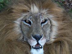 Laeonis Lion Mask_Masks and Full Fursuits.jpg 4288×3216 pixels