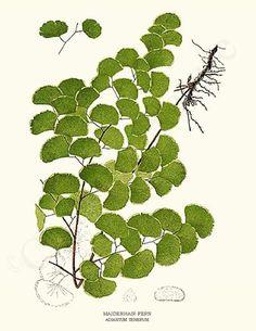 Fern Botanical Art Print: Maidenhair 8x10 Print