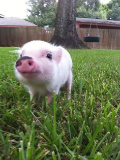 Micro Pig, I'm going to get one and name it lassie