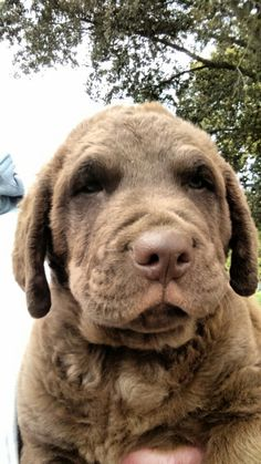 Male Puppy Dash/Magnum October 2015 Chesapeake Bay, In A Heartbeat, Farms, Cute Babies, Labrador Retriever, October, Puppies, Dogs, Animals