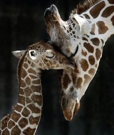 Mother Giraffe and her Calf