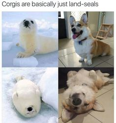 Corgis = Land Seals